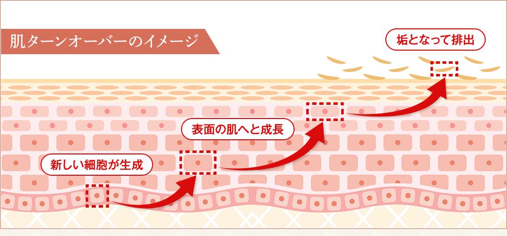肌ターンオーバーのイメージの図