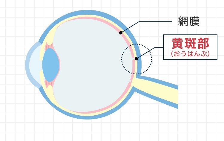 網膜 黄斑部(おうはんぶ)